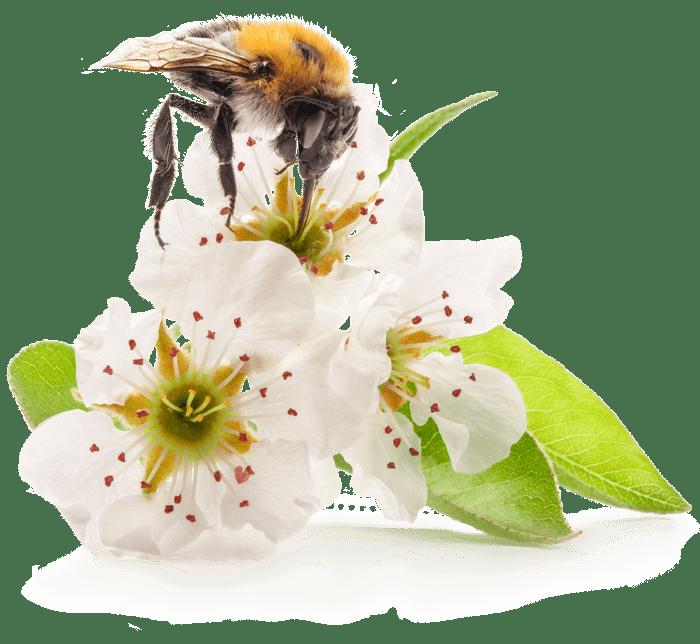 beecraft mit natürlichem Propolis von der Honigbiene