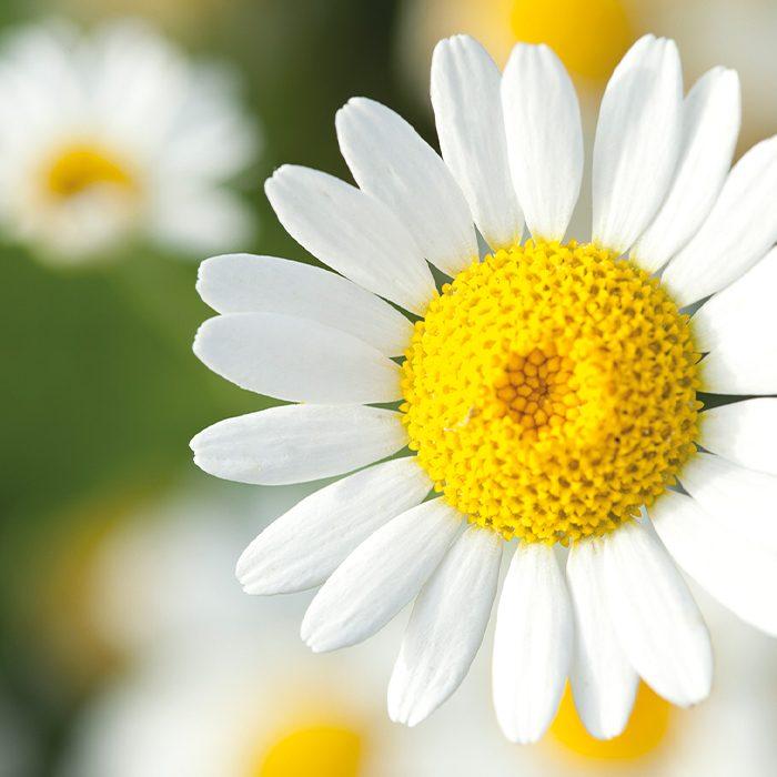 Wenn wir von Kamille sprechen, meinen wir die getrockneten Blütenkörbchen der echten Kamillenpflanze