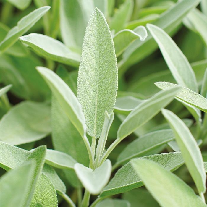 Die Salbei-Pflanze wirkt gegen Entzündungen